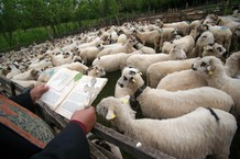 Blessing of  Sheep